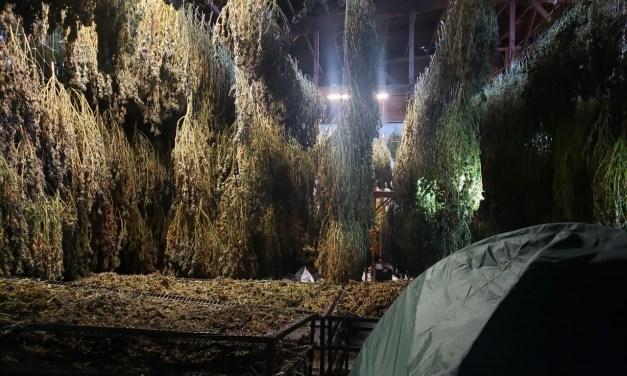 Massive Warehouse of Illicit Marijuana Dismantled in Klamath Falls