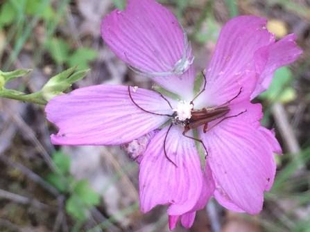 Checkerbloom (Sidalcea malviflora)