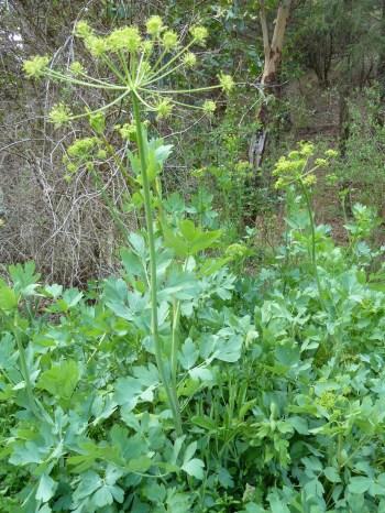 California biscuitroot (Lomatium californicum)