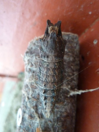 Anise swallowtail butterfly chrysalis