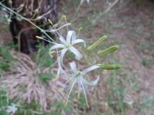 soaproot (Chlorogalum pomeridianum)