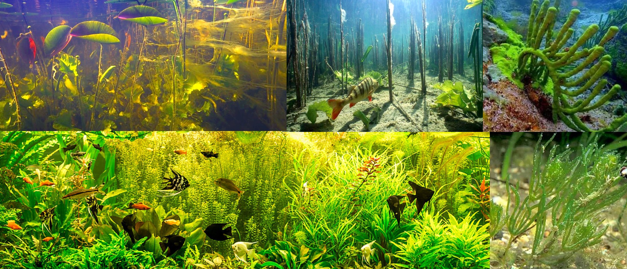 Freshwater flora