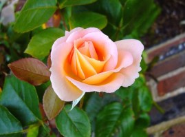 rosebud-57512_640