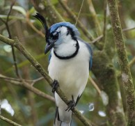 White-throated Magpie