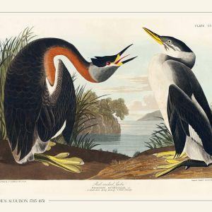 Red necked grebe - John James Audubon vintage leksikon plakat
