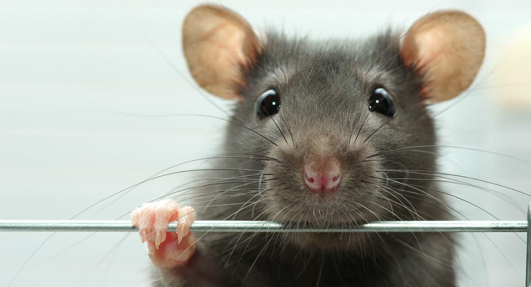 Jaka klatka dla szczura? Którą wybrać?