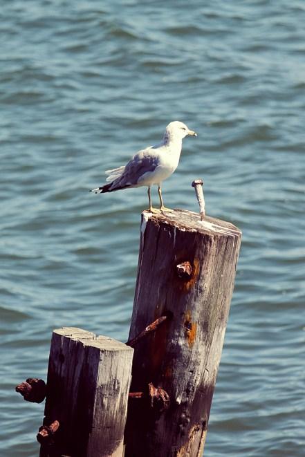 Seagull Carl Schurtz Park New York