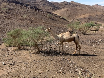 Camels, donkeys and long-haired goats were a common sight in the countryside