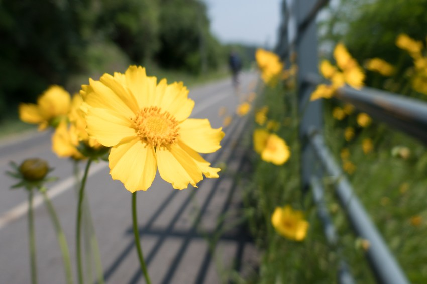 Golden coreopsis flowers lining the way along the path
