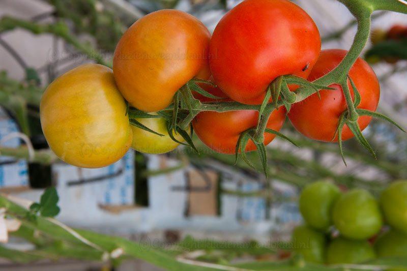tomaten, kom in de kas