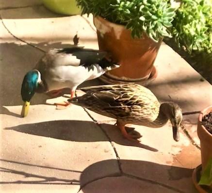 duckplumage
