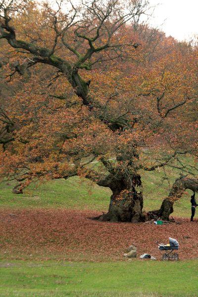 De oudste eikenboom van Dyrehaven