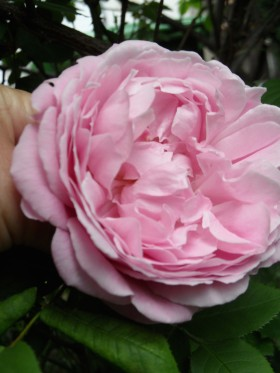 …eine Rose ist eine Rose ist eine Rose…