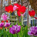 flickr Tulpen op het Begijnhof by mjk23