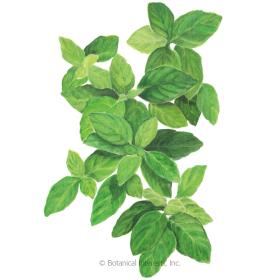 Botanical Interests Basil Lemon