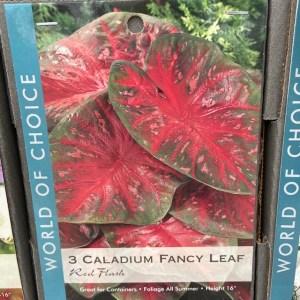 Caladium Fancy Leaf Red Flash