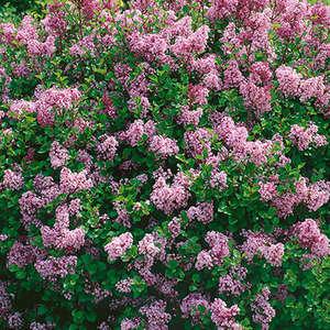 Syringa Dwarf Korean Lilac