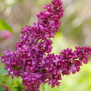 Syringa vulgaris 'Charles Joly' Lilac