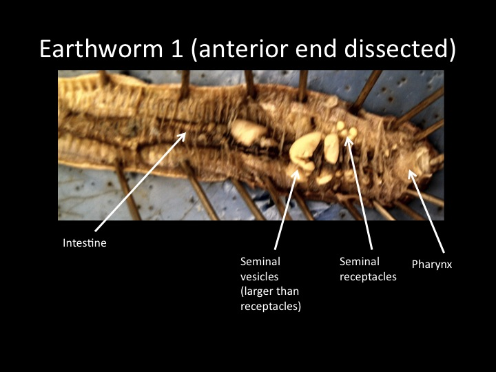 shark anatomy diagram cilia nose images for bio 122 lab
