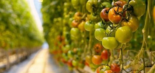В Волгоградской области увеличилось производство тепличных овощей
