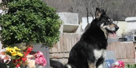 5. Anjing setia jaga makam tuannya