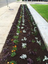 The bed of flowers planted by AP Biology students outside of City Hall. The beds in Bronson Park were also tended by Loy Norrix and Kalamazoo Central students. Photo Credit / Rachel Zook