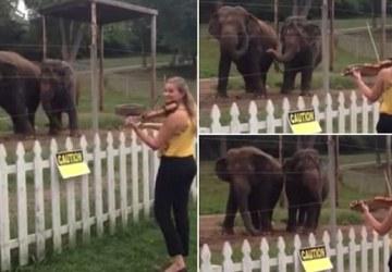 Prišla k ohrade, v ktorej boli slony, a začala hrať na husliach. Ich reakcia ťa dostane!