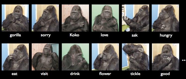 Zomrela gorila Koko, ktorá ovládala znakovú reč. Známa bola na celom svete