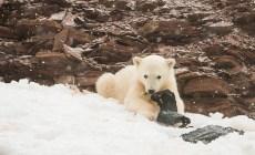 Malý ľadový medveď bol spozorovaný pri hre s plastovým odpadom. Ten sa na vzdialený ostrov dostal cez oceán a ohrozuje prírodu i zvieratá