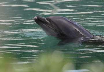 Honey, osamelý delfín vjaponskom akváriu, vyvoláva verejný nesúhlas. Je symbolom problémov lovu veľrýb v okolí mesta Taiji
