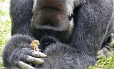 VIDEO: Gorila natrafila na maličké zviera. Pozrite si, ako sa spriatelili