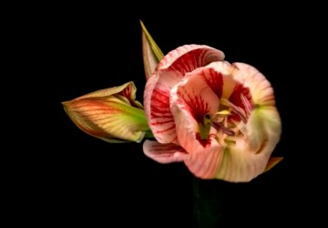Ako kvitne jabloň, orchidea či amarylis? Pozri si video od Maja Chudého, ktoré v troch minútach zobrazuje 929 hodín reálneho času