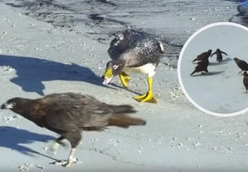 Pozrite si video, kde mláďa tučniaka chránia pred predátormi kačky