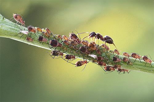 К какому отряду относится муравей