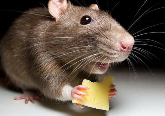Мыши едят сыр или нет. Действительно ли мыши любят сыр || Что мыши любят больше сыр или зерно