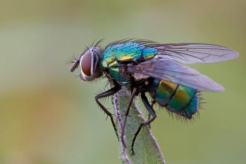 Сколько муха может прожить без еды. Сколько живет муха обыкновенная в квартире
