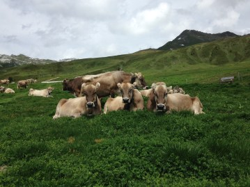 Cows on Madrisa