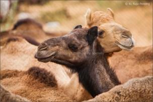 Camel pair