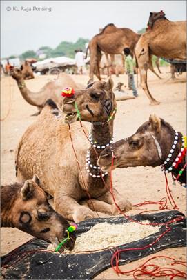 camels at pushkar