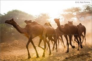 camels running