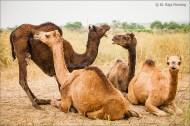 four camels