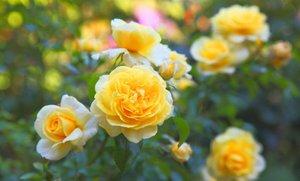 Как ухаживать за парковыми розами осенью. Посадка и уход за парковыми розами