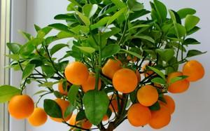 Как привить мандариновое дерево в домашних условиях