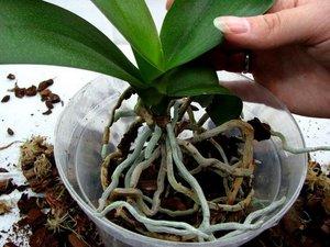 Особенности пересадки орхидеи