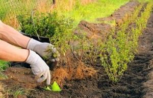 Обрезка пузыреплодника осенью - Дача, сад, огород, комнатные растения