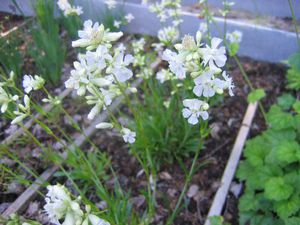 Выращивание вискарии из семени