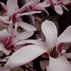 Scoarța Magnolia: beneficii, utilizare și efecte secundare