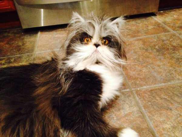 Evil Looking Cats Who Secretly Want You Dead Klyker Com
