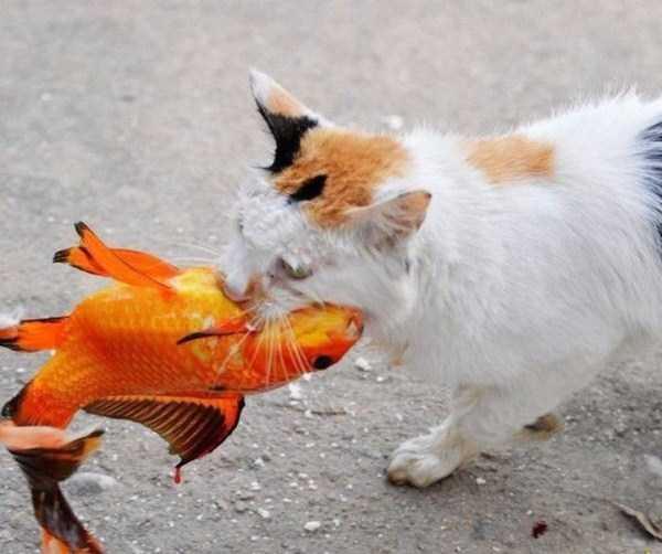 catcatchinggoldfish 9  KLYKERCOM