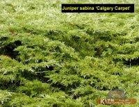 JUNIPERUS sabina Calgary Carpet - Klyn Nurseries Inc.